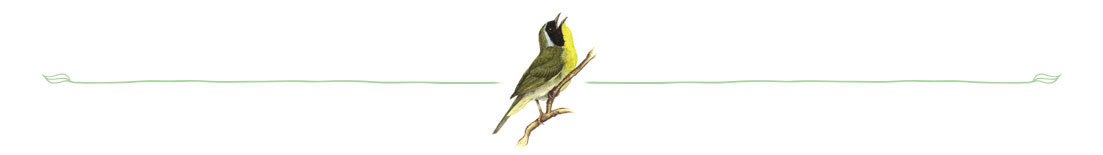 Yellowthroat © Michael DiGiorgio