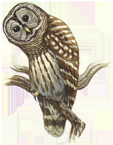 MD-Barred-Owl