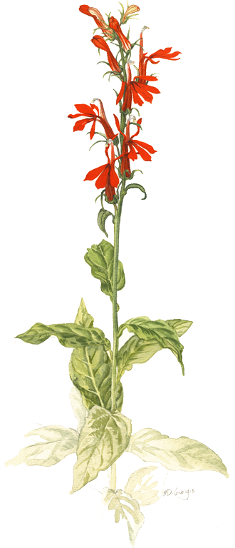 MD-Cardinal-flower