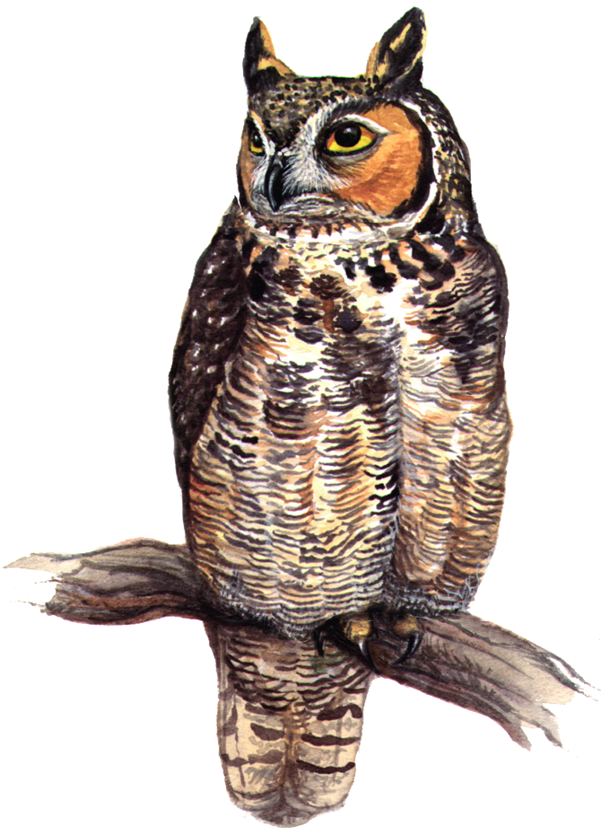 MD-Great-Horned-Owl
