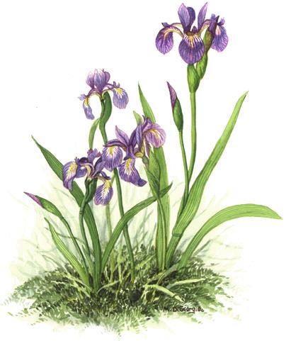 MD-Iris