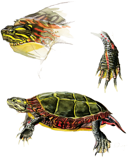 MD-Painted-turtle
