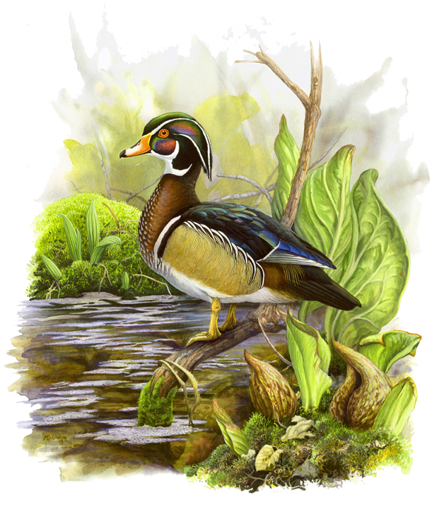 MD-Wood-Duck